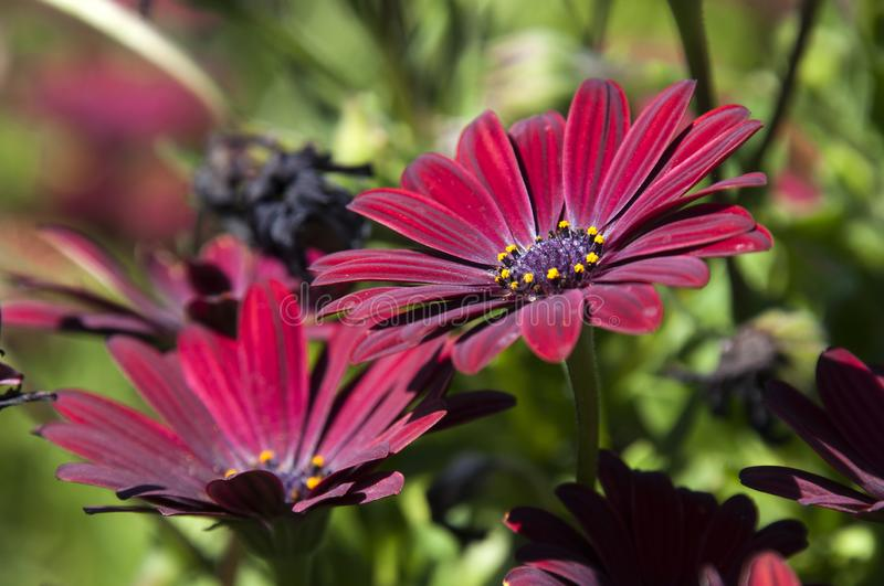 Red african daisy flowers stock image