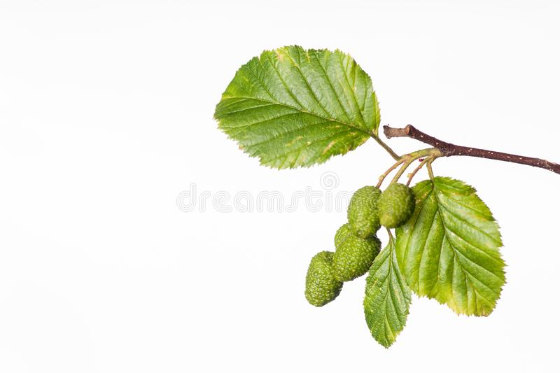 Red Alder Branch - Alnus rubra. The summer branch of a red alder or Alnus rubra is displayed in this image royalty free stock photos