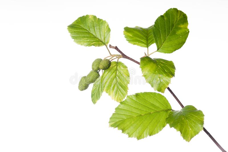 Red Alder Branch with Leaves and Cones. The summer branch of a red alder or Alnus rubra is displayed in this image royalty free stock image
