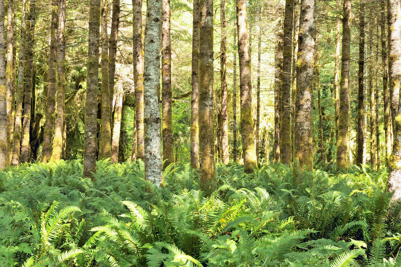 Red Alders and ferns,Quinault Temperate Rainforest. Red alders (Alnus rubra) and ferns in the Quinault temperate rainforest, Olympic National Park, Washington stock photos