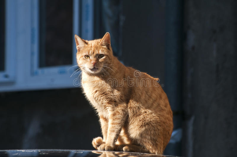 Red alley cat. Red alley street cat on car's roof stock photo