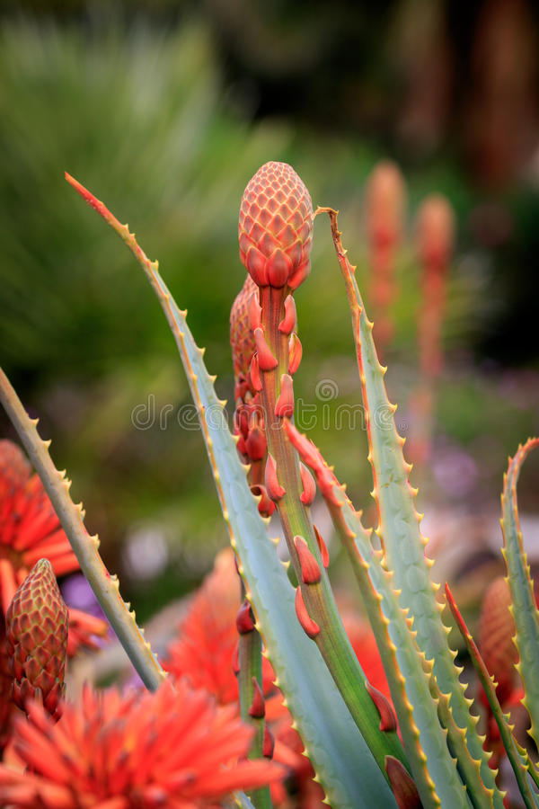 Red aloe vera. Beautiful red succulent aloe vera plant flower royalty free stock images
