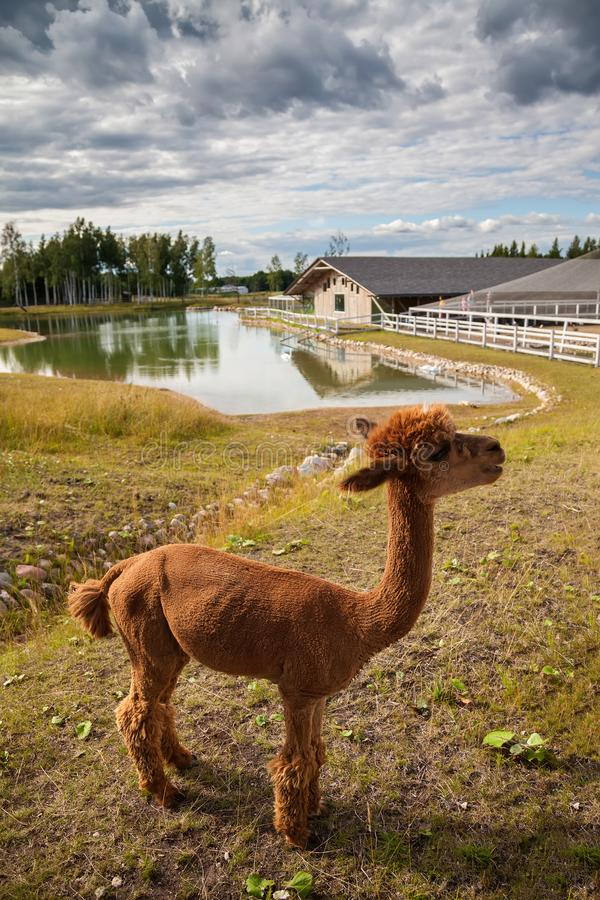 Red alpaca on the farm stock image