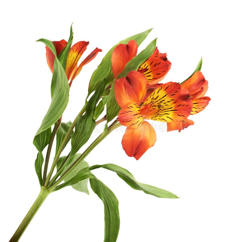 Red alstroemeria flower isolated stock image image of alstroemeria download red alstroemeria flower isolated stock image image of alstroemeria herb 107560317 mightylinksfo