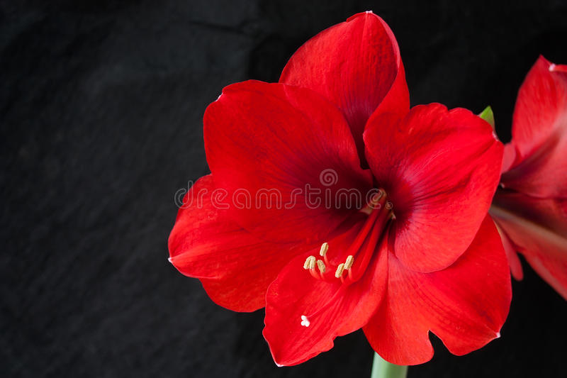 Red amarillis flower royalty free stock image