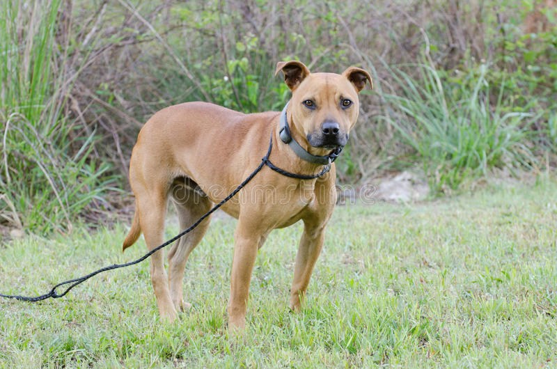 Red American Pit Bull Terrier Dog Stock Photo - Image of ...