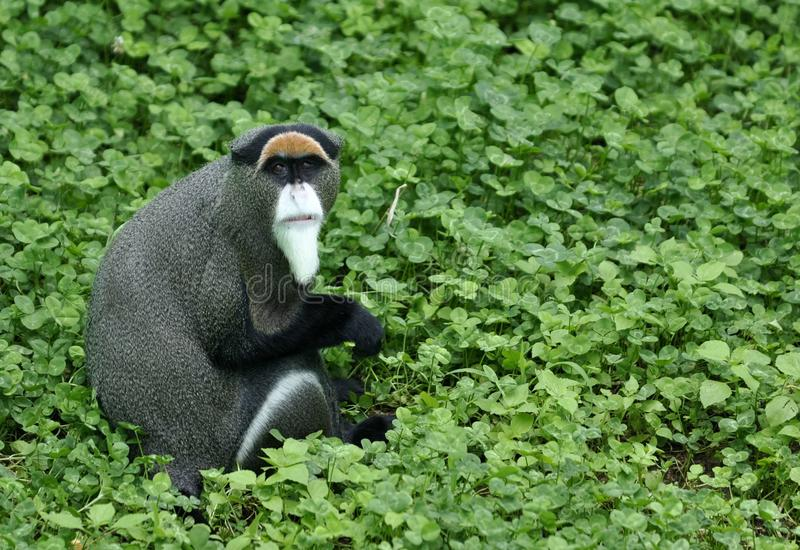 Download Red Amount Long Tail Monkey Stock Photo - Image: 20604616