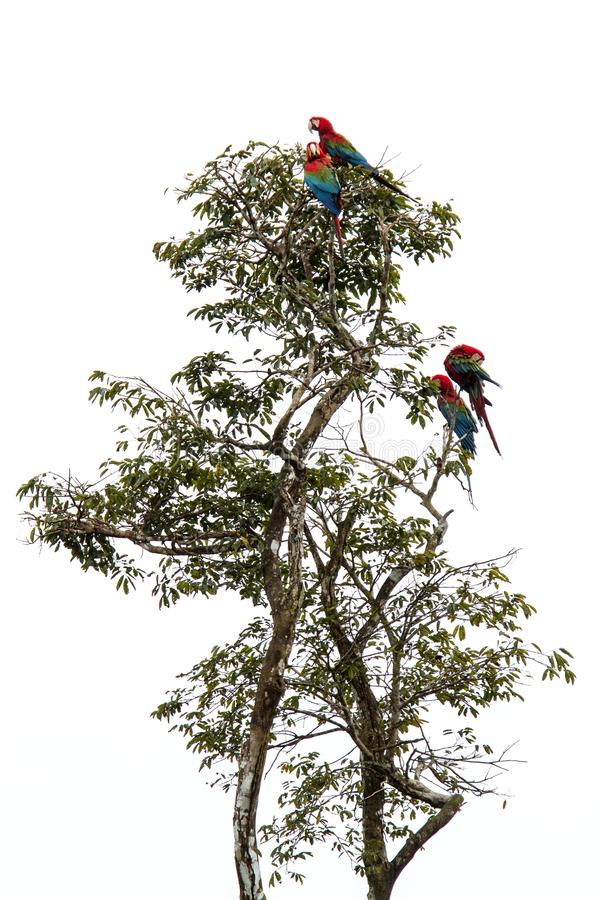 Free Red-and-green Macaws Ara Chloropterus Grooming Its Feathers On Tree In Manu National Park, Peru, Beautiful Birds In Amazon Royalty Free Stock Photography - 130362477