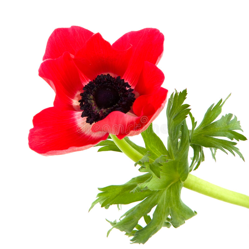 Red anemone. Isolated over white royalty free stock photos
