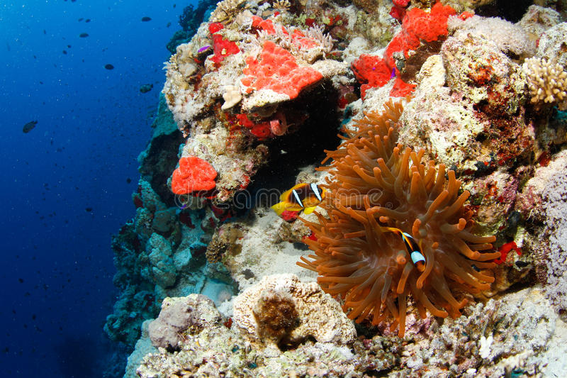 Red anemone and clownfish. In the red sea royalty free stock photography