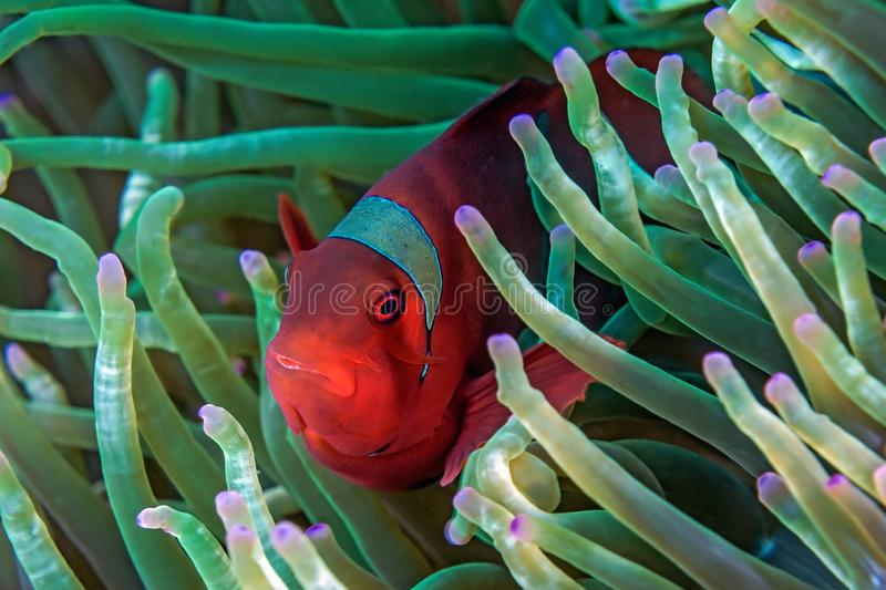 Red anemone fish royalty free stock photos