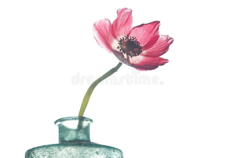 Red anemone flower in frosted glass bottle. Beautiful red colored anemone flower in blue-green frosted glass bottle on white background. Photo art that looks stock image