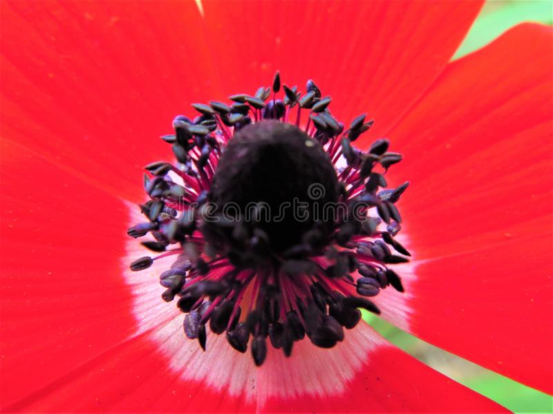 Red anemone flower. Grow up on automn on the florest stock images
