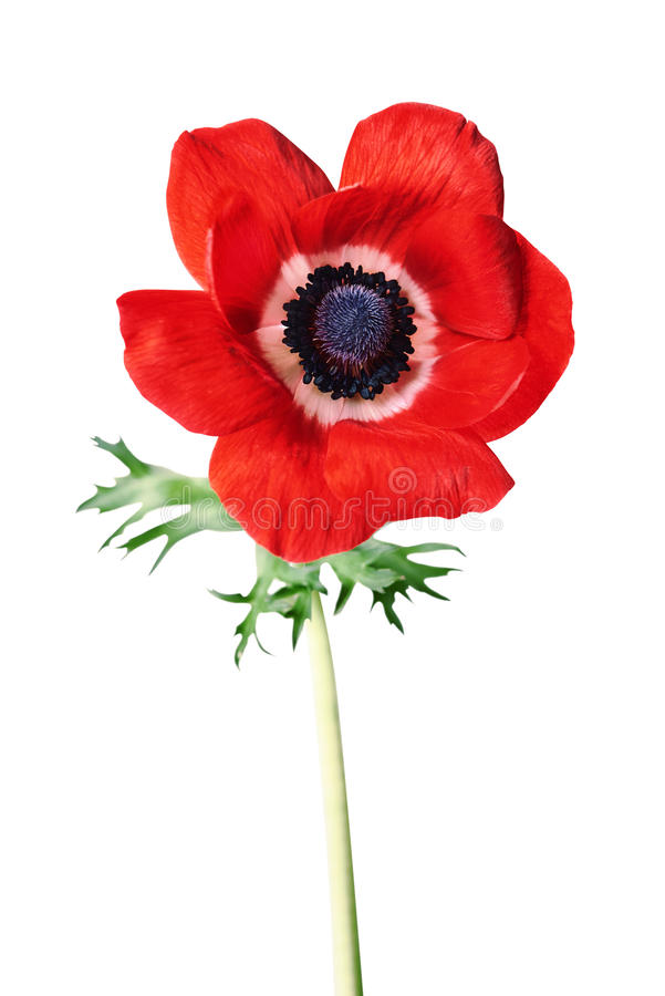 Red anemone flower. Isolated on white background stock photography