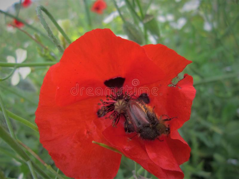 Red anemone flower. Grow up on automn on the florest stock photography