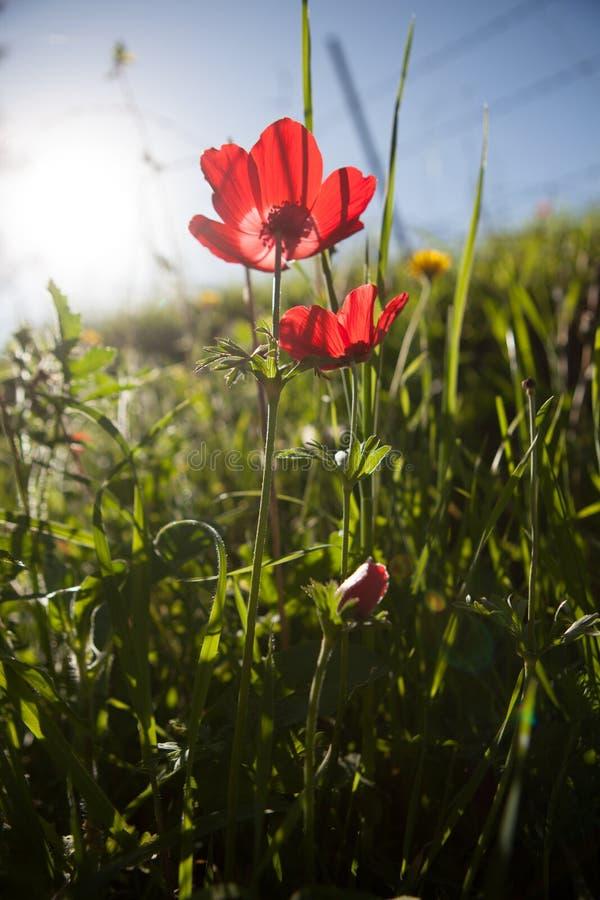 Red Anemone stock photo
