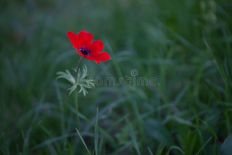 Red Anemone stock photos