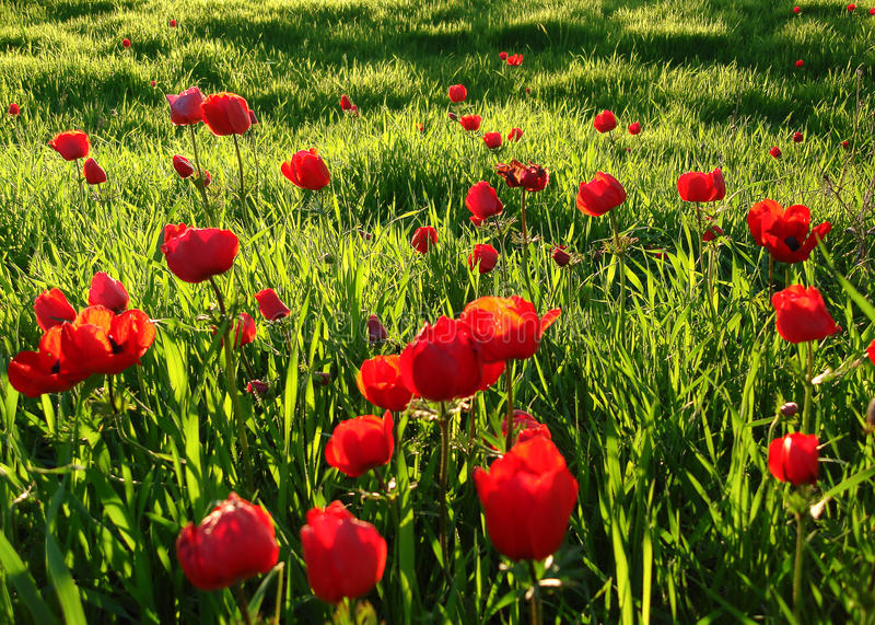Red Anemones Field Winter Blooming Macro Shot in Green Grass Fie. Ld, Beeri Forest, Southern District of Israel stock photos