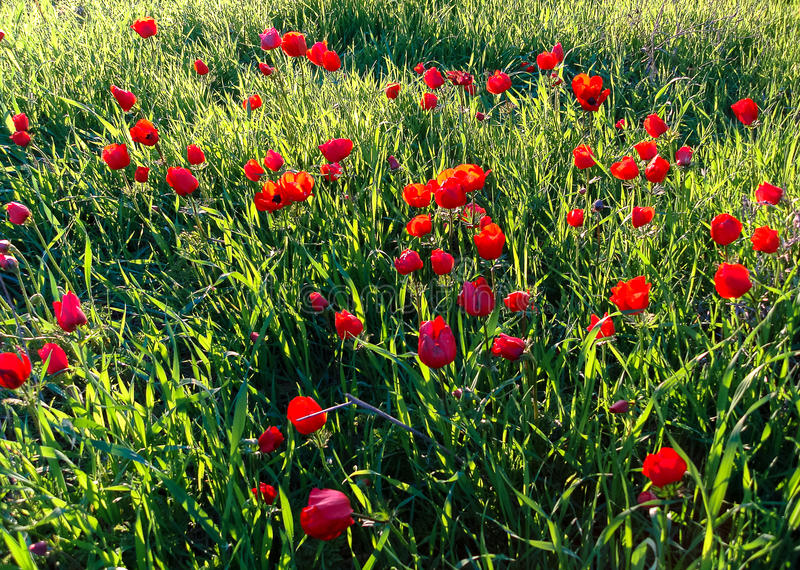 Red Anemones Field Winter Blooming Macro Shot in Green Grass Fie. Ld, Beeri Forest, Southern District of Israel stock photo