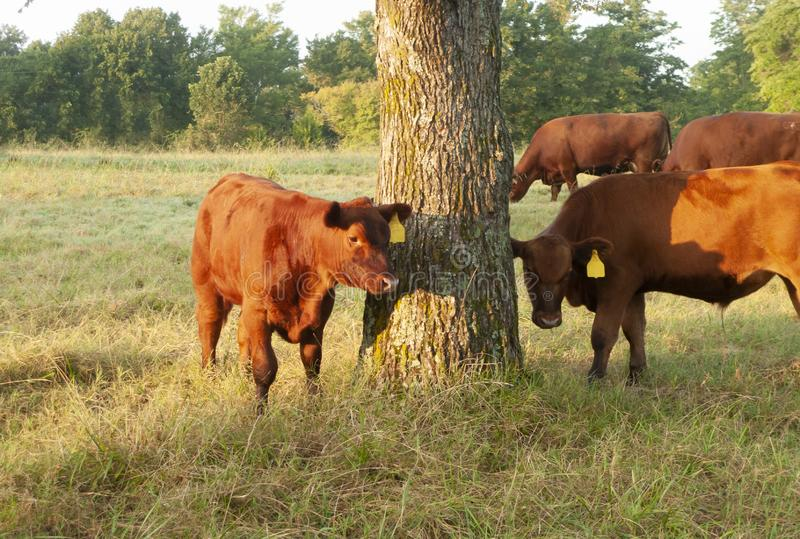 Calves and cattle in a grassy pasture with trees. Red Angus beef cattle calves wearing ear tags in a tall grass pasture royalty free stock image