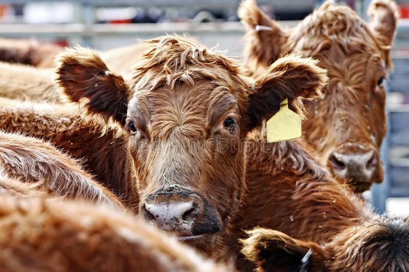 Red Angus Cattle During Feeding Time. Close-up of the heads of curious Red Angus cattle during feeding time in an outdoor pen - dust from the hay and outdoor royalty free stock photo