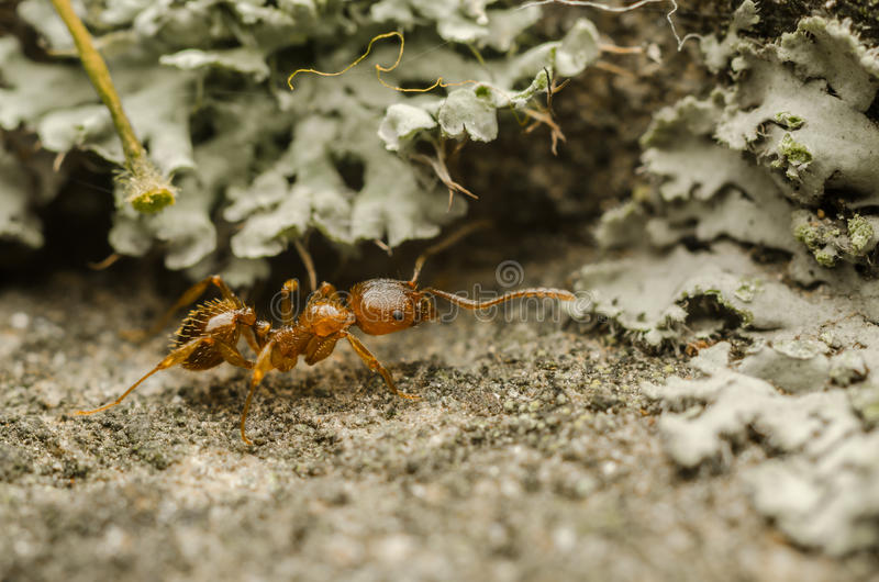 Download Red Ant stock photo. Image of insects, colony, ants, food - 27326428
