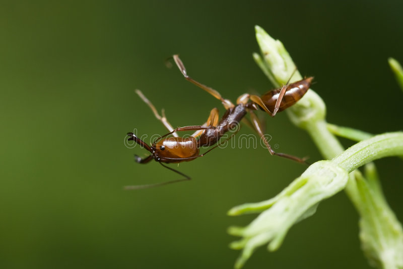 A red ant stock images