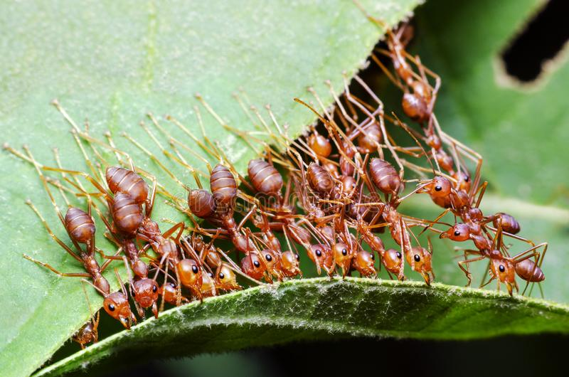 Red ant, Ant bridge unity team Cooperate To achieve the goal. Red ant, Ant bridge unity team Cooperate To achieve the goal to help build the nest royalty free stock photo