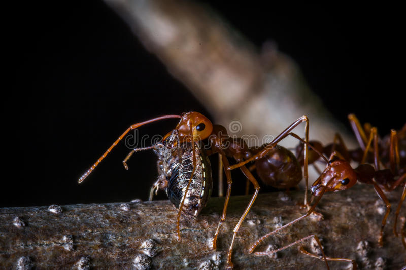 The red ant carrying insect for eat. Red ant carrying insect for eat royalty free stock photos