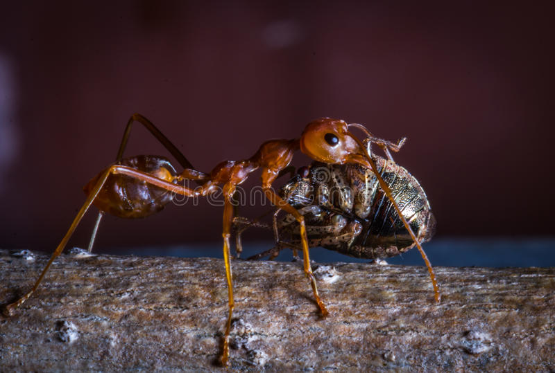 Red ant carrying insect for eat. The red ant carrying insect for eat stock photos