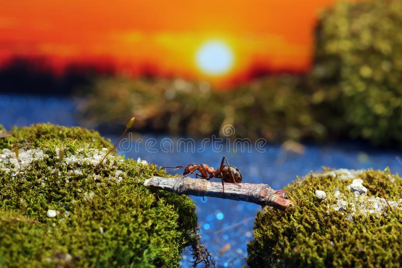 Red ant crosses the river on a log royalty free stock photos