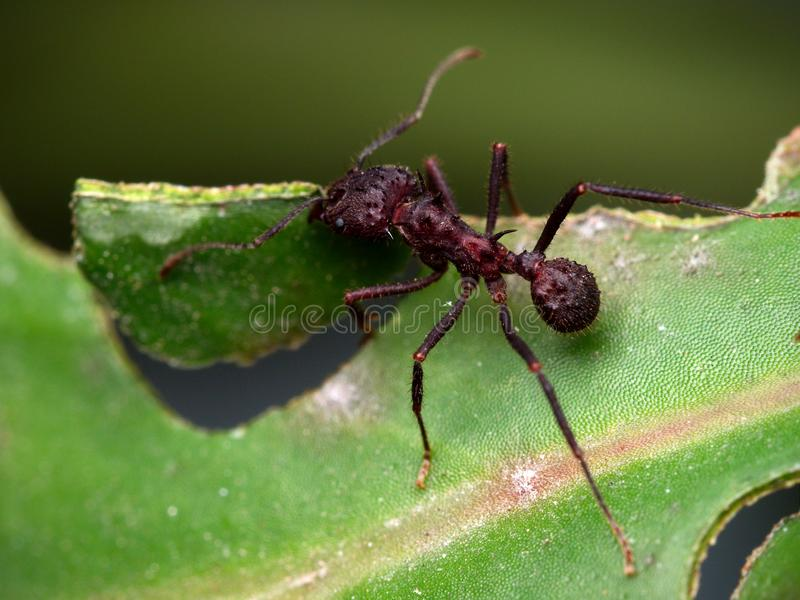 Red ant cutting a leaf. Close up photo of a red ant cutting a leaf in Cordoba, Argentina royalty free stock photo