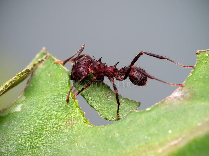 Red ant cutting a leaf. Close up photo of a red ant cutting a leaf in Cordoba, Argentina royalty free stock image