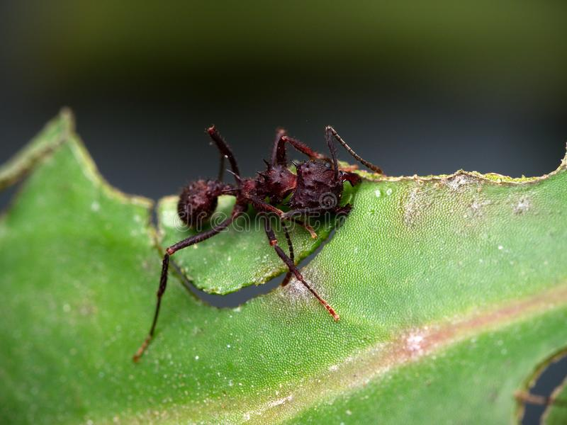 Red ant cutting a leaf. Close up photo of a red ant cutting a leaf in Cordoba, Argentina royalty free stock images