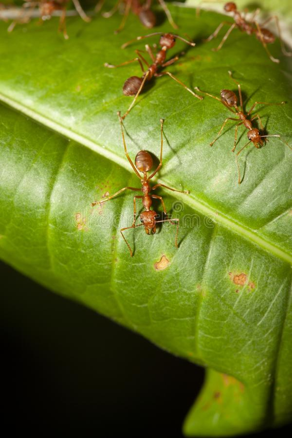 Red ant on green leaf in nature at thailand. Macro, background, ants, closeup, animal, wildlife, insect, bug, walking, white, detail, leg, teamwork, color stock image