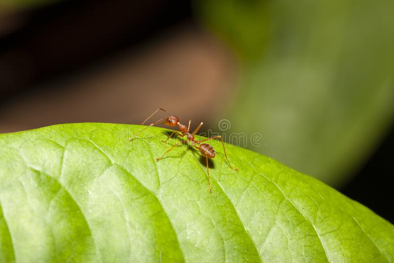 Red ant on green leaf in nature at thailand. Macro, background, ants, closeup, animal, wildlife, insect, bug, walking, white, detail, leg, teamwork, color royalty free stock photo