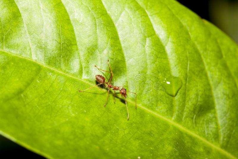 Red ant on green leaf in nature at thailand. Macro, background, ants, closeup, animal, wildlife, insect, bug, walking, white, detail, leg, teamwork, color stock images