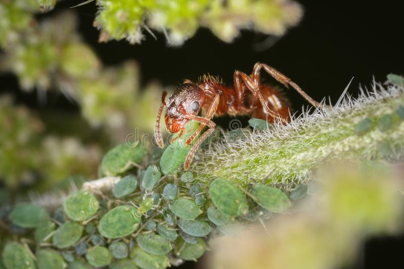 Red ant and greenfly on plant. Red ant feeding from the honeydew produced by greenflies royalty free stock images