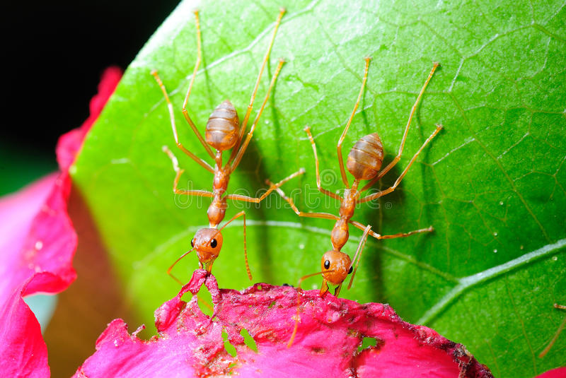 Red ant on leaf stock photos