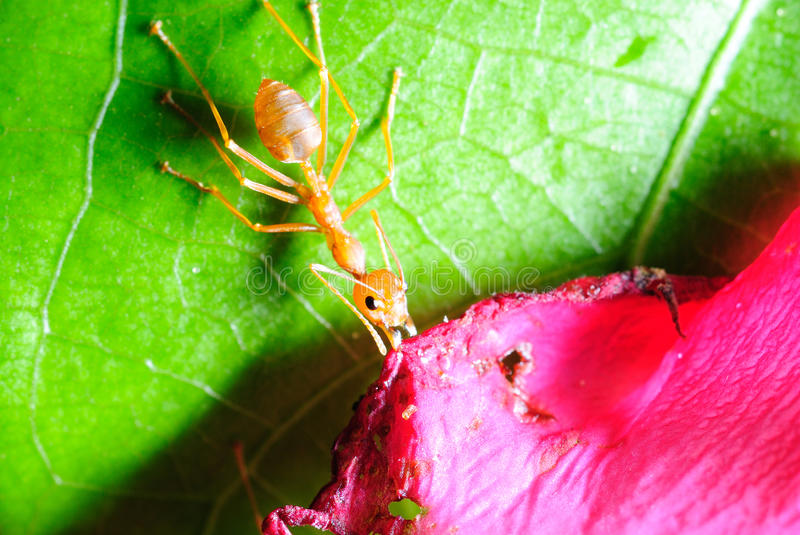 Red ant on leaf royalty free stock photo