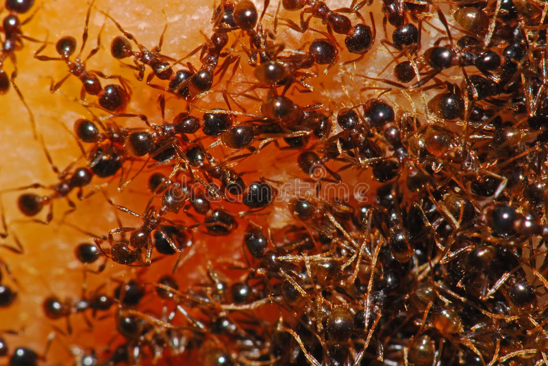 Download Red ant looking for foods stock image. Image of gardens - 3302709