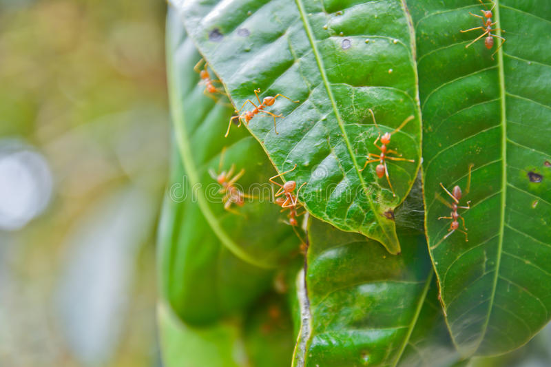 Red ant nest on mango tree stock photo