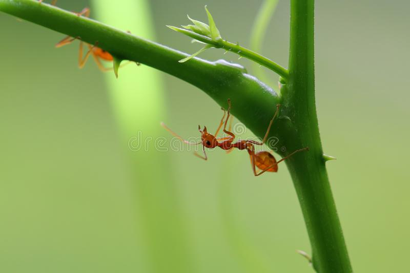 Red ant Oecophylla smaragdina. Action of ant on a tree stock images