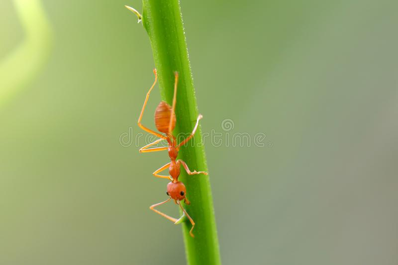 Red ant Oecophylla smaragdina. Action of ant on a tree royalty free stock photos