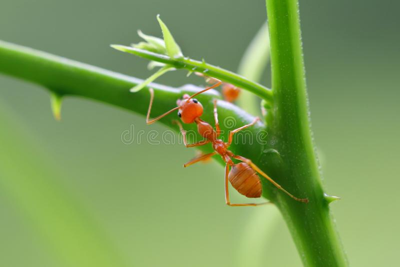 Red ant Oecophylla smaragdina. Action of ant on a tree stock photos