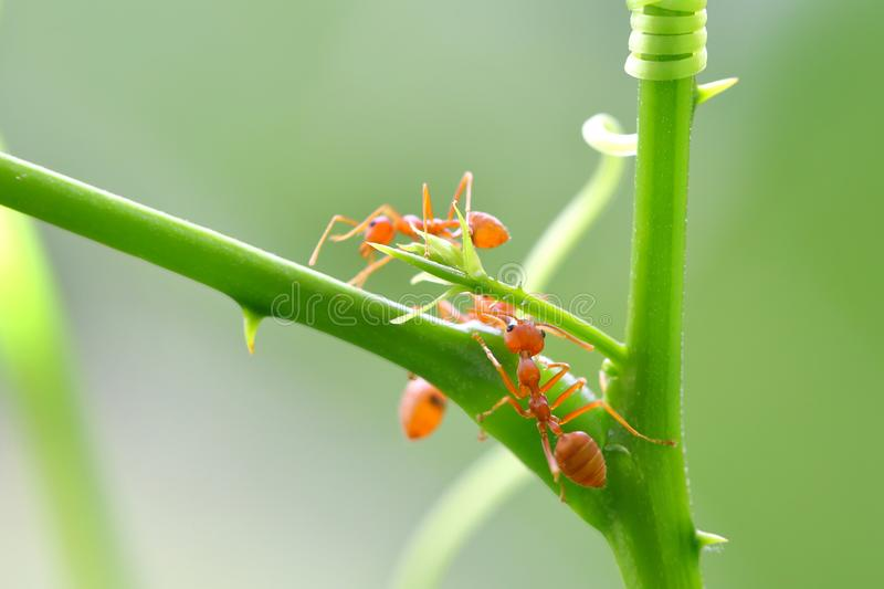 Red ant Oecophylla smaragdina. Action of ant on a tree stock photo