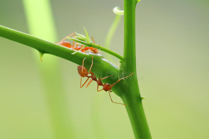 Red ant Oecophylla smaragdina. Action of ant on a tree royalty free stock photo