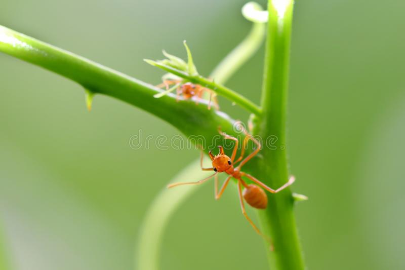 Red ant Oecophylla smaragdina. Action of ant on a tree royalty free stock images