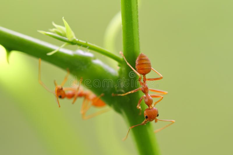 Red ant Oecophylla smaragdina. Action of ant on a tree stock image