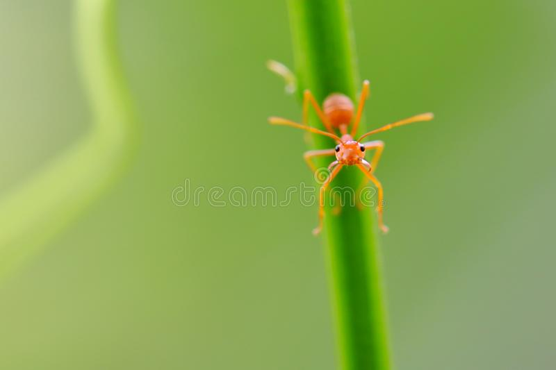Red ant Oecophylla smaragdina. Action of ant on a tree royalty free stock image